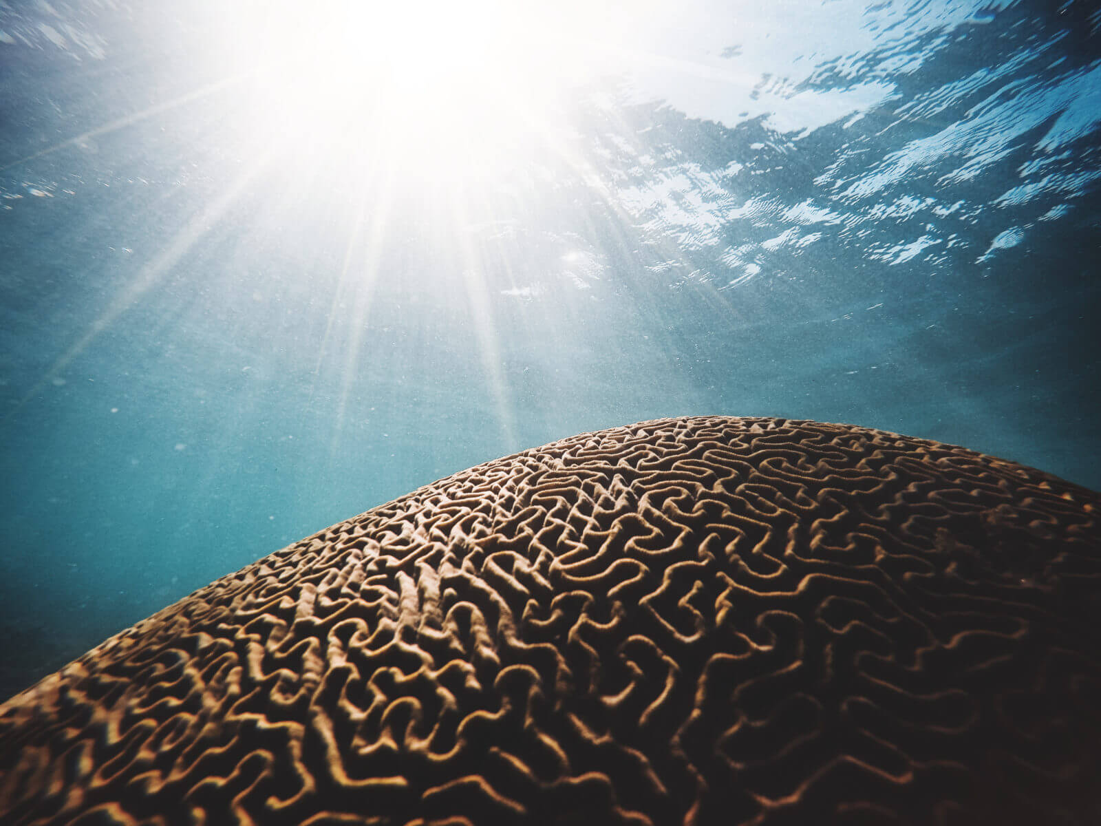 Brain coral – Photo by Daniel Hjalmarsson